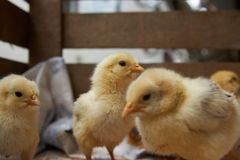 Newborn yellow baby chicks brood in a wooden box. Cute little broiler chickens  eats grain, close-up. Farming concept royalty free stock images