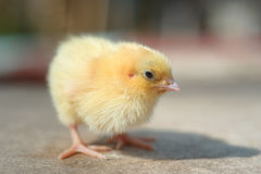 Newborn yellow chick Stock Images