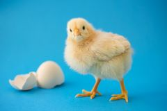 Newborn yellow chicken and broken eggs. royalty free stock image