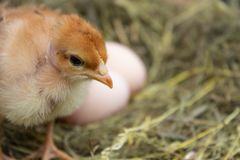 Newborn yellow chickens in hay nest along whole stock photo