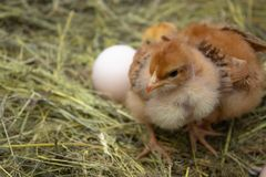 Newborn yellow chickens in hay nest along whole royalty free stock image