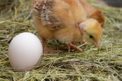Newborn yellow chickens in hay nest along the whole. Closeup of yellow chickens in the nest royalty free stock images