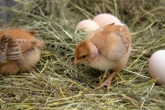 Newborn yellow chickens in hay nest along the whole. Closeup of yellow chickens in the nest royalty free stock image
