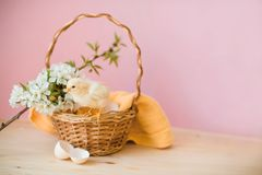 Newborn yellow chickens in a wicker basket. royalty free stock image