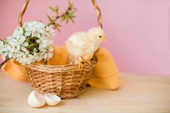 Newborn yellow chickens in a wicker basket. royalty free stock images