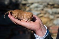 Newborn Yellow Kitten at The Hand Stock Image