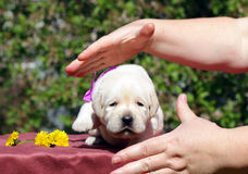 Newborn yellow labrador puppy with dandelions and hands Stock Image
