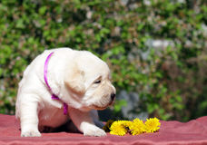 Newborn yellow labrador puppy with dandelions Stock Images