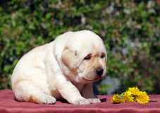 Newborn yellow labrador puppy with dandelions Stock Photo