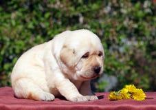 Newborn yellow labrador puppy with dandelions Stock Photo