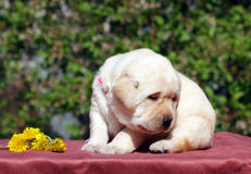 Newborn yellow labrador puppy with dandelions Royalty Free Stock Photo