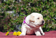 Newborn yellow labrador puppy with dandellions Stock Image