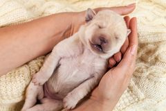 Newborn yellow labrador puppy dog sleeping in woman hands. Lying on woolen sweater background royalty free stock photography