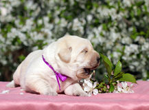 Newborn yellow labrador puppy with flowers Royalty Free Stock Photo