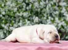 Newborn yellow labrador puppy Stock Images