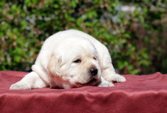 Newborn yellow labrador puppy Stock Photos