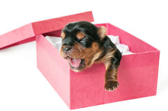 Newborn Yorkshire puppy in box Royalty Free Stock Images