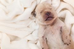 Newborn young labrador puppy dog sleeping on fluffy blanket. Closeup, copyspace stock image
