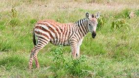 Newborn zebras, Kenya. Two newborn zebras eating grass in Amboseli park, Kenya stock video