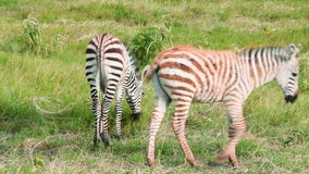Newborn zebras, Kenya. Two newborn zebras eating grass in Amboseli park, Kenya stock video footage