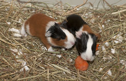 Newborns of guinea pig Stock Images