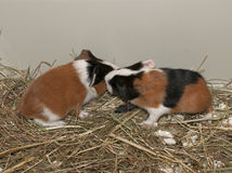 Newborns of guinea pig Royalty Free Stock Images