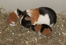 Newborns of guinea pig Stock Photo