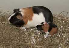 Newborns of guinea pig Stock Photos