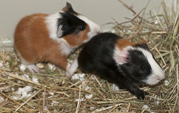 Newborns of guinea pig Stock Image