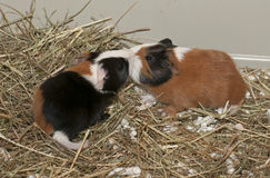 Newborns of guinea pig Stock Photography