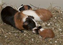 Newborns of guinea pig Stock Photos
