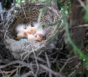 Newborns. Newly hatched Robins in the nest Stock Photography