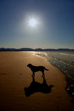 Newborough Beach and a dog Stock Photography