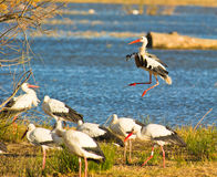 A newcomer White Stork Stock Photos