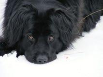 Newfie i snön Arkivfoton