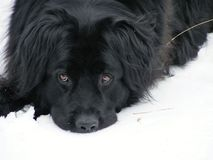 Newfie im Schnee Stockfotos