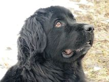 Newfie looking up royalty free stock photography