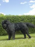 Newfoundland. A newfoundland dog in front of a hedge Stock Photography