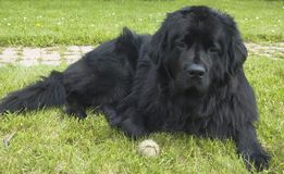 Newfoundland. A big black Newfoundland dog lies in the grass.  This breed, known for their water rescue skills, are gentle and kind dogs and make great pets if Royalty Free Stock Image