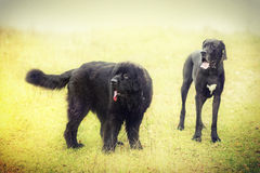 Newfoundland and black dog Royalty Free Stock Photo