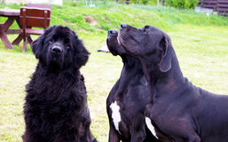 Newfoundland and Danes Royalty Free Stock Image