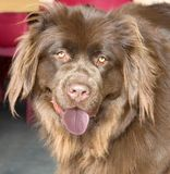 Newfoundland dog 1 Royalty Free Stock Photo