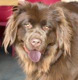 Newfoundland dog 1. Portrait of nice Newfoundland dog royalty free stock photo