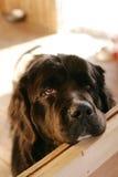 Newfoundland dog. Cute face of a black newfoundland dog stock photo