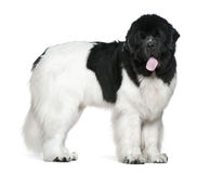 Newfoundland dog, 16 months old, standing Stock Images