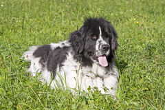 Newfoundland dog. The Newfoundland is a recognized by the FCI breed of dog that originated in Canada royalty free stock image