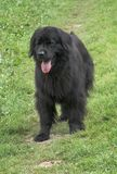 Newfoundland dog. In the field Stock Photography