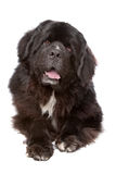 Newfoundland dog. In front of a white background Stock Image