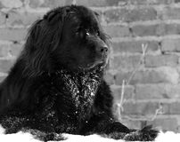 Newfoundland dog. In the snow Royalty Free Stock Photo