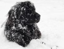 Newfoundland dog. In the snow Stock Image